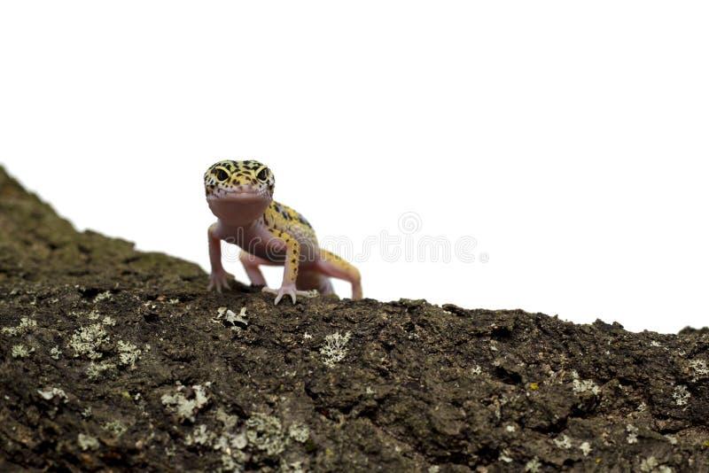 Gecko de léopard se tenant sur l'arbre sur le fond blanc photographie stock libre de droits