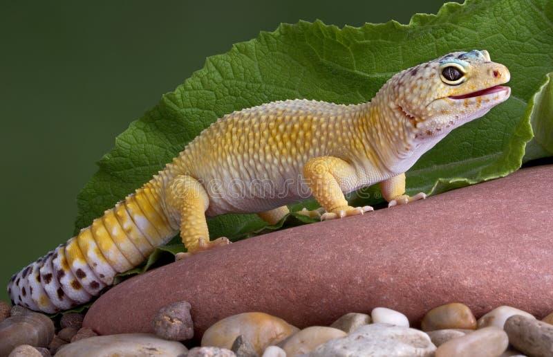 Gecko de léopard sur la roche image stock