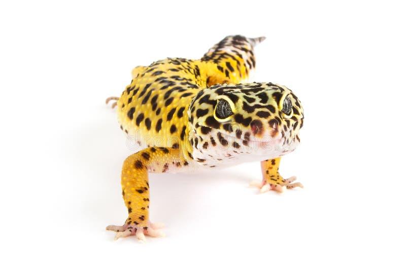 Gecko de léopard sur le blanc photo libre de droits