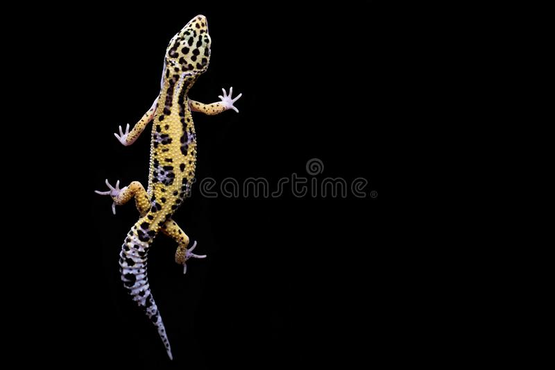 Gecko de léopard sur le fond noir Vue supérieure photo libre de droits