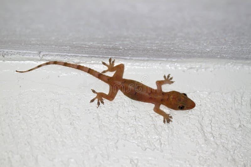 Gecko de la casa (frenatus de Hemidactylus) fotografía de archivo