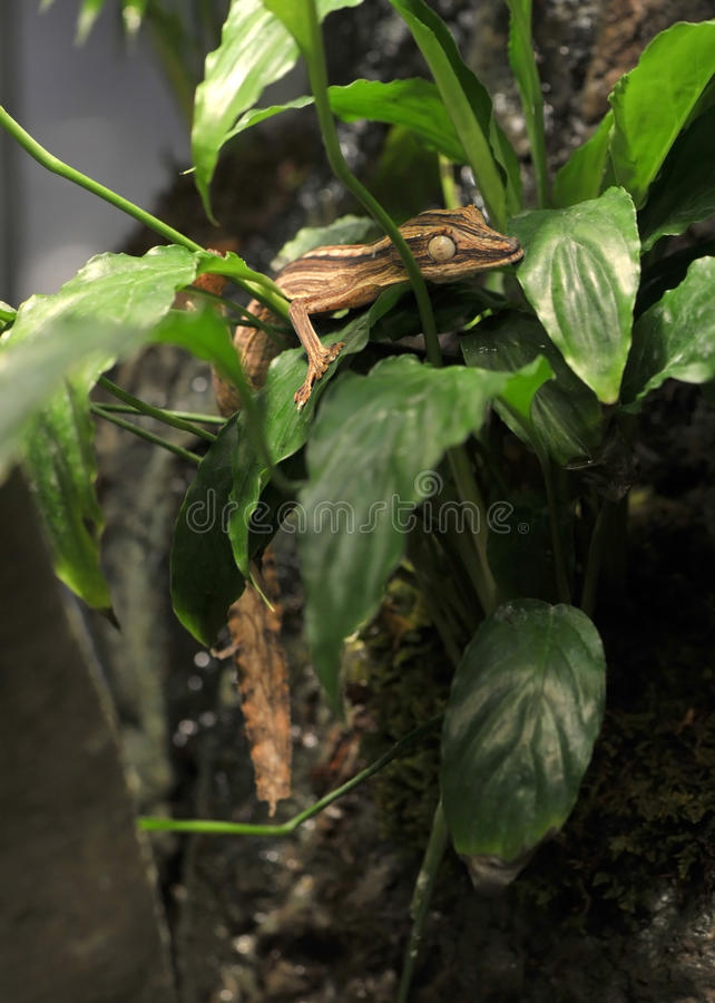 Gecko de la hoja de Madagascan en el árbol, Madagascar, África foto de archivo libre de regalías