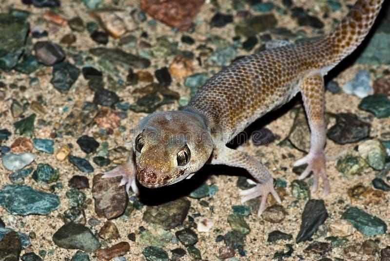 Gecko de la maravilla de Przewalski imagenes de archivo