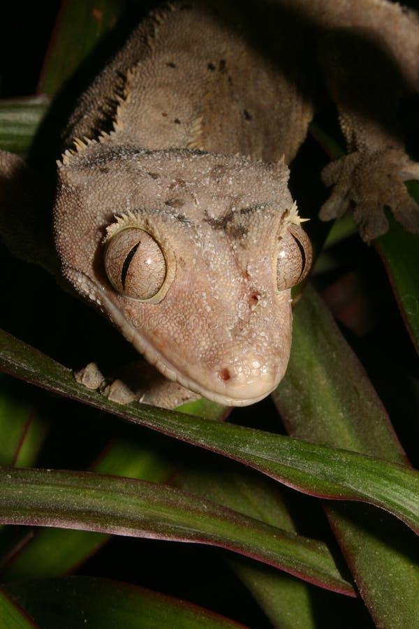 Gecko de las coronas (ciliatus de Rhacodactylus) foto de archivo