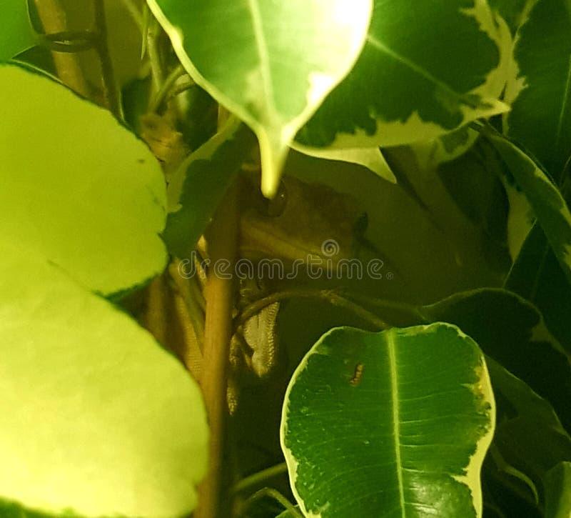 Gecko de piaulement photo libre de droits