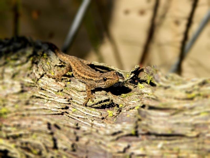 Gecko de terrain communal de bébé images libres de droits
