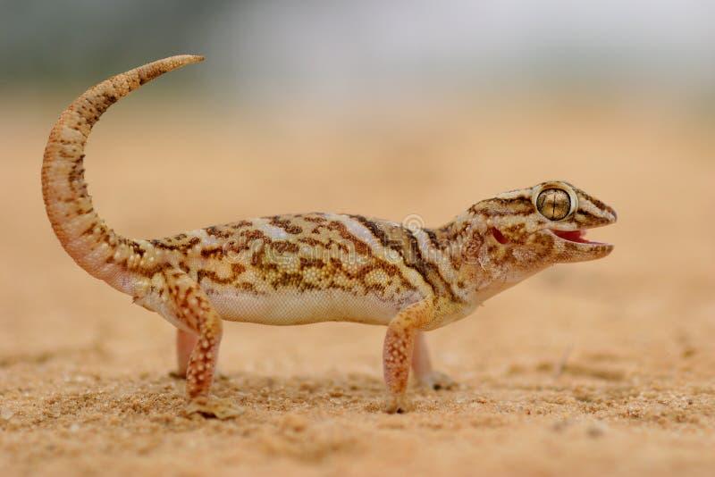 Gecko de tierra gigante imagen de archivo libre de regalías