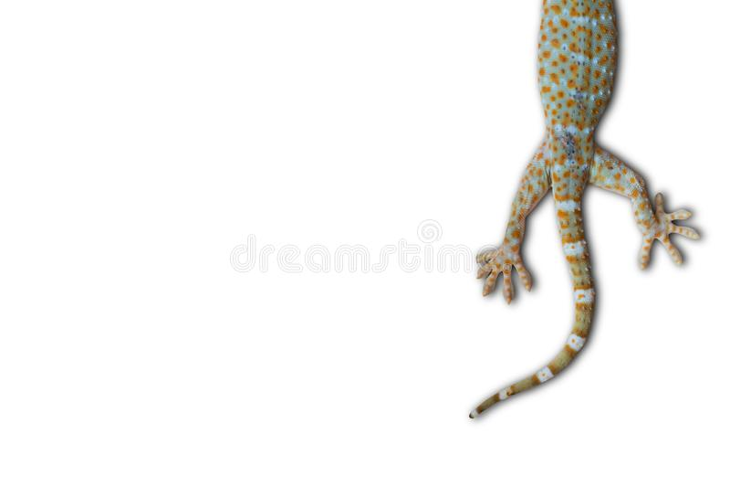 Gecko de Tokay photo libre de droits