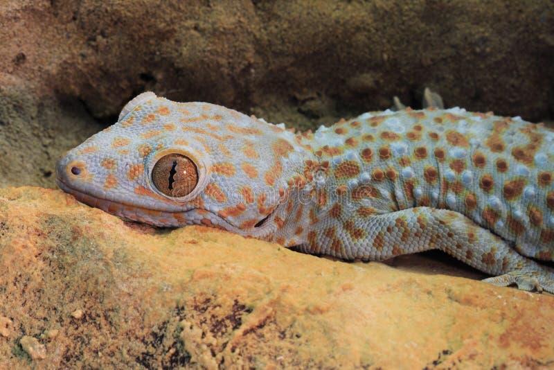 Gecko de Tokay imagem de stock royalty free