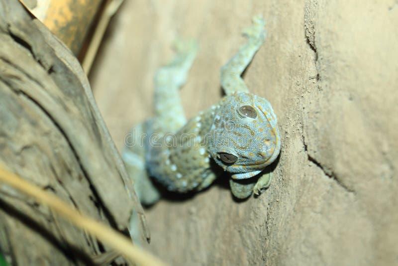 Gecko de Tokay fotografia de stock