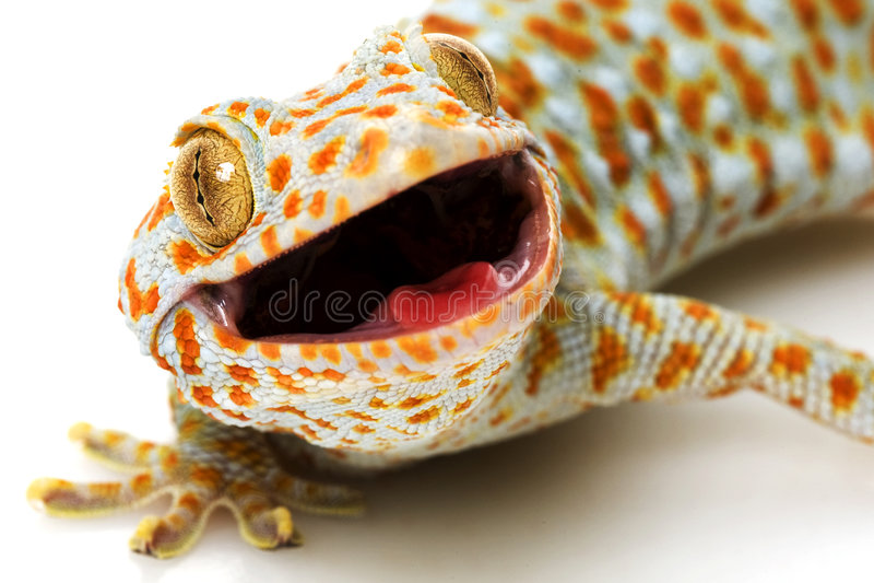 Gecko de Tokay foto de stock royalty free