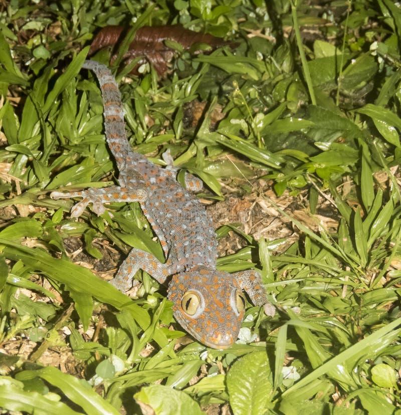 Gecko de Tokay dans l'herbe, Koh Mook Island, Thaïlande photo stock