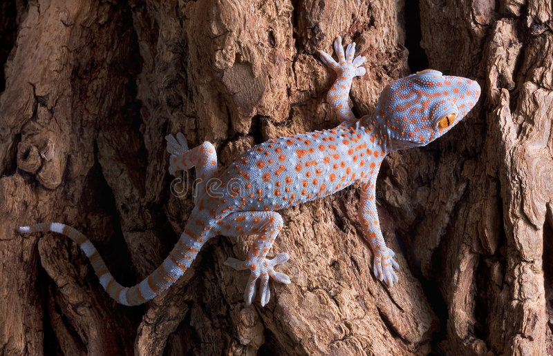 Gecko de Tokay de chéri sur l'arbre photographie stock libre de droits