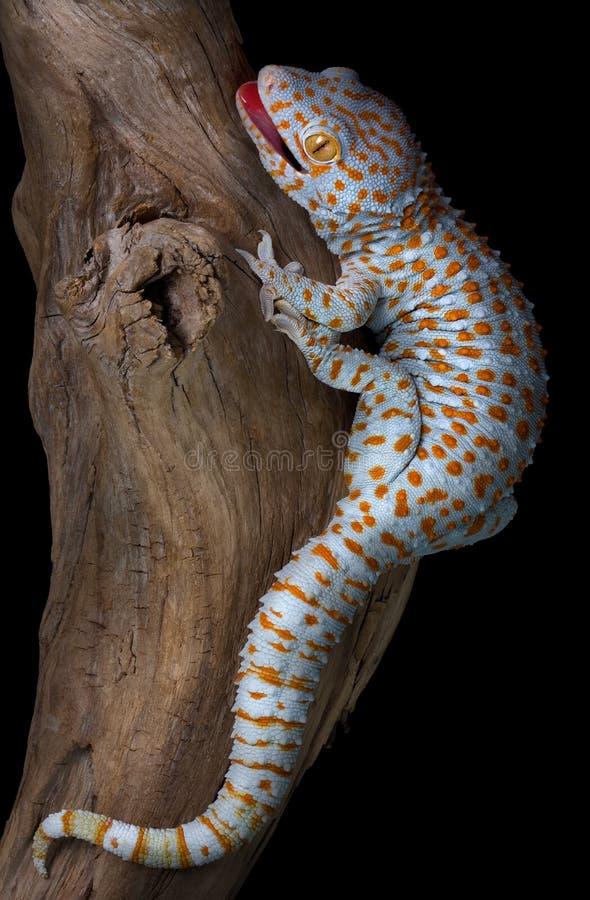 Gecko de Tokay en el driftwood fotografía de archivo libre de regalías