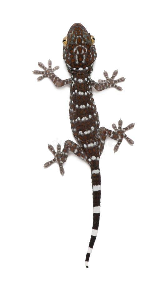 Gecko de Tokay, gecko de Gekko photos libres de droits