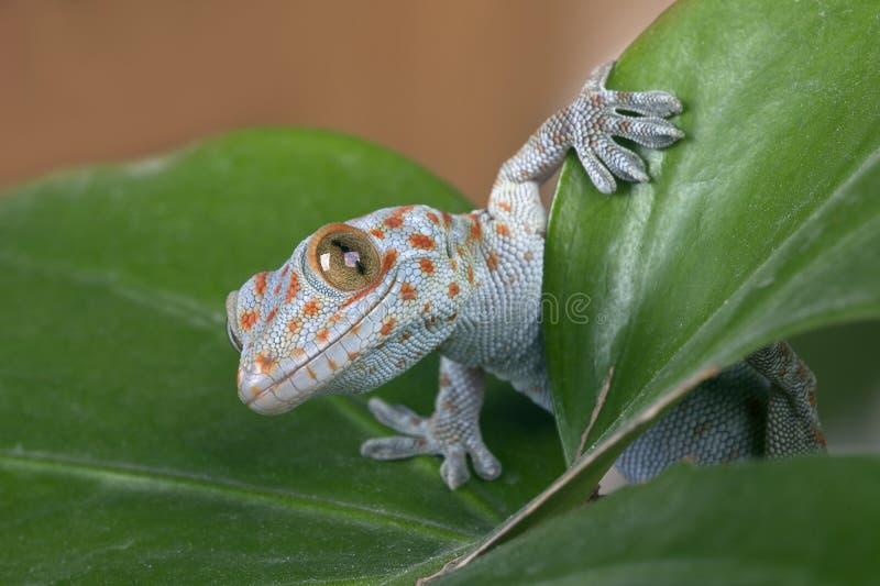 Gecko de Tokay (gecko de Gekko) fotos de stock