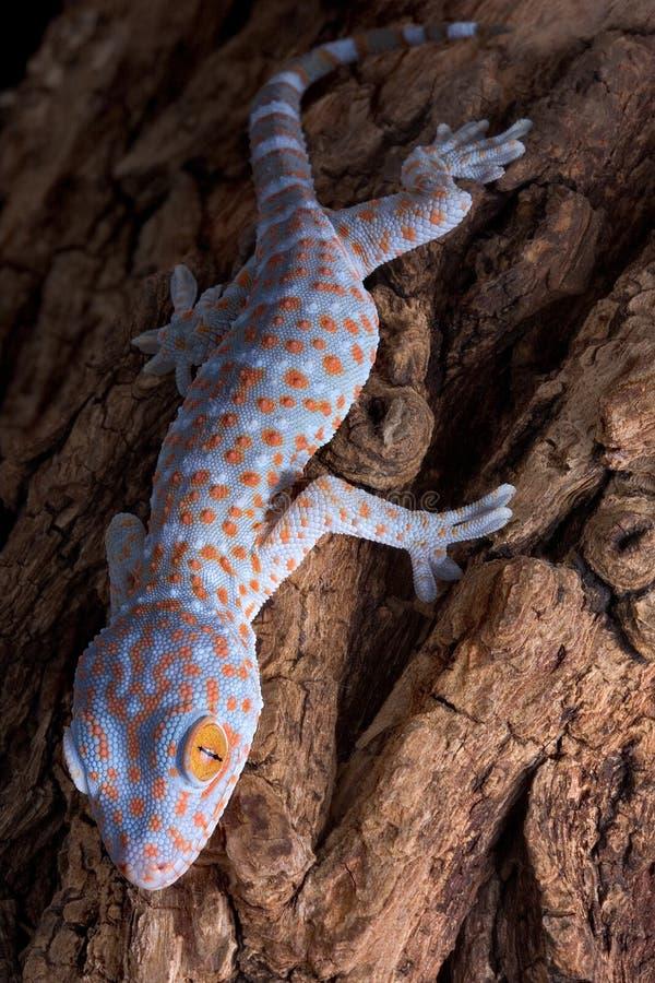 Gecko de Tokay grimpant vers le bas à l'arbre photos stock
