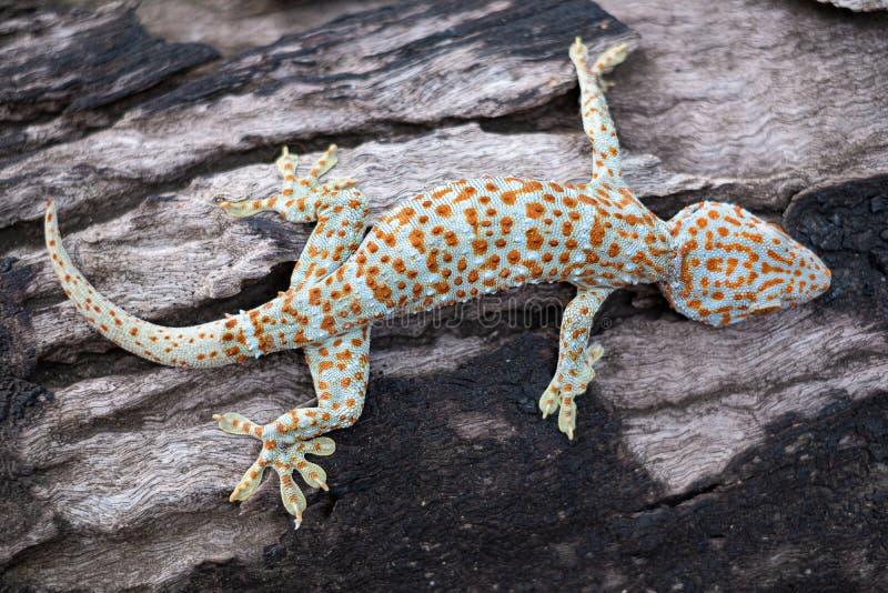 Gecko de Tokay photos stock