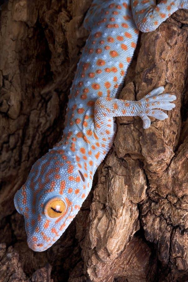 Gecko de Tokay sur l'écorce image stock