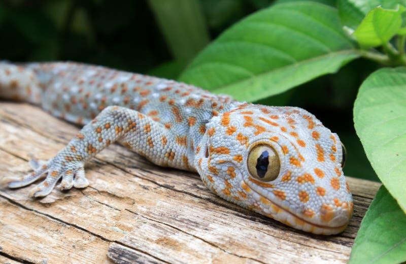 Gecko de Tokay sur le bois images libres de droits