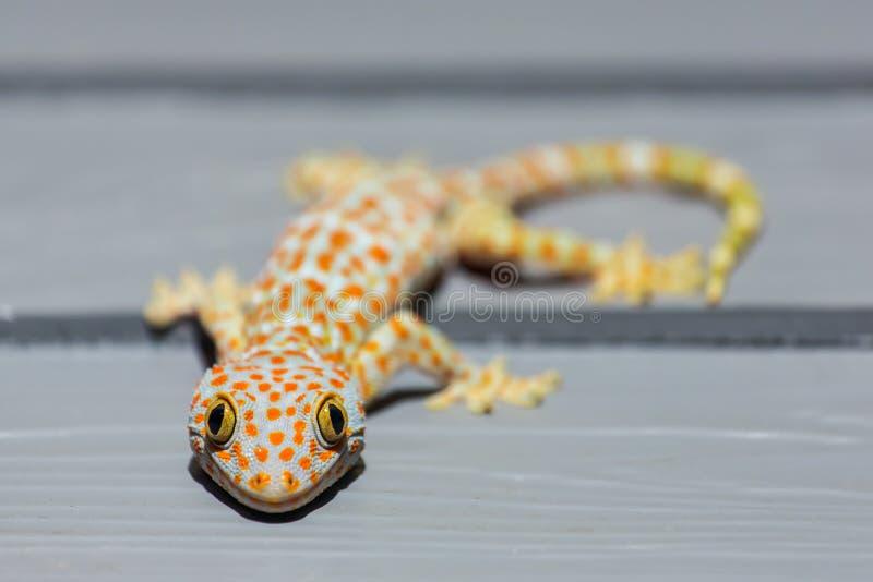 Gecko de Tokay sur le mur en bois photo stock