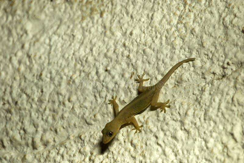 Gecko de Zanzibar, Kiwengwa, Zanzibar, Tanzania imagen de archivo libre de regalías