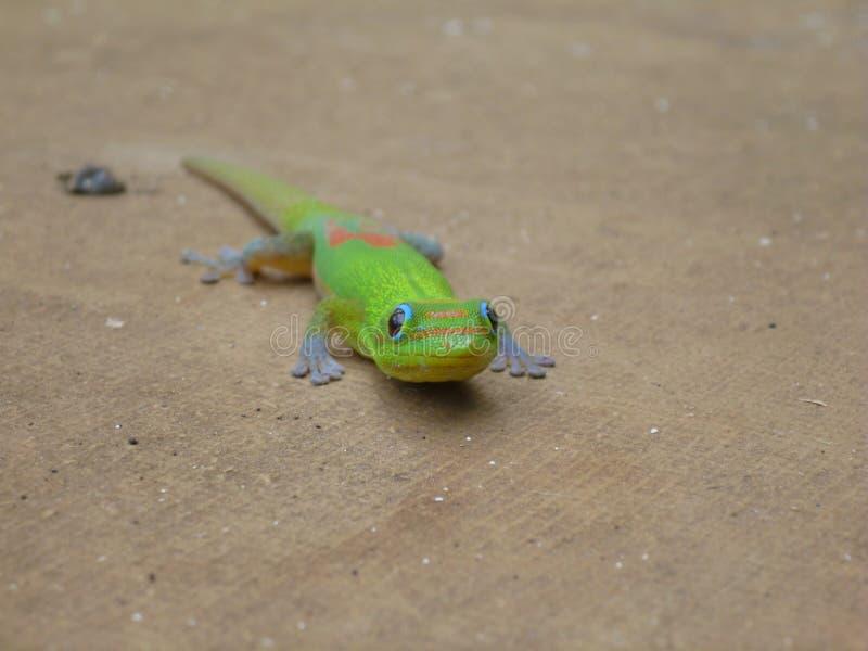 Gecko del día de Golddust imágenes de archivo libres de regalías