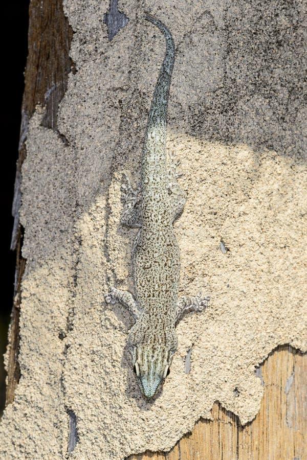 Gecko del día de Thicktail, isalo imágenes de archivo libres de regalías