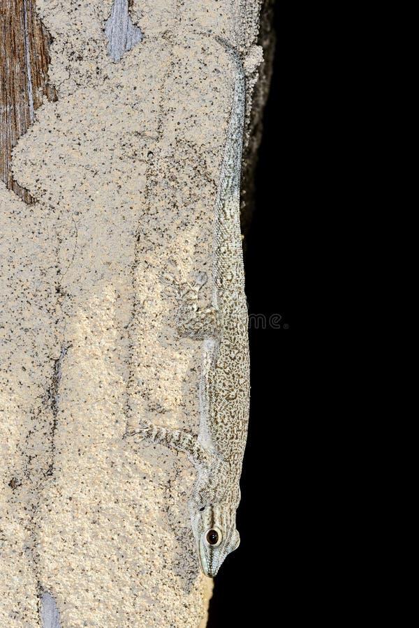 Gecko del día de Thicktail, isalo foto de archivo