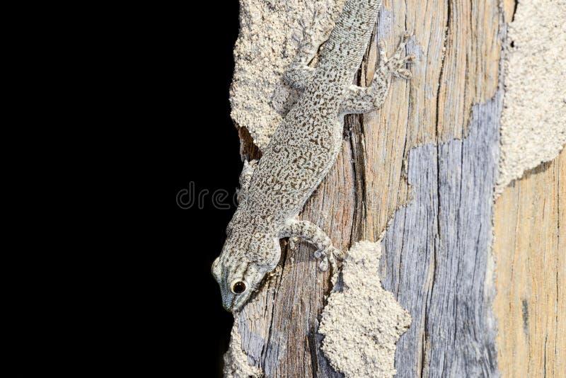 Gecko del día de Thicktail, isalo fotografía de archivo