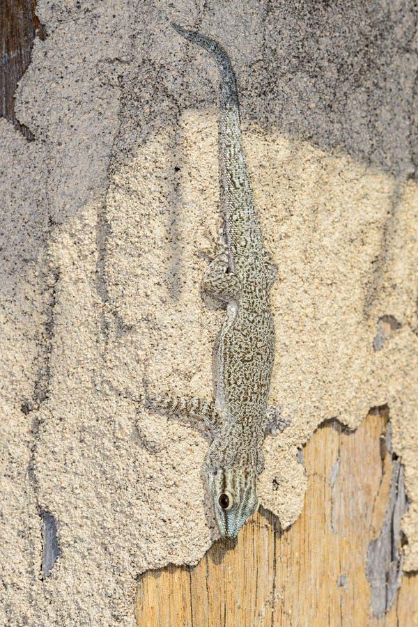 Gecko del día de Thicktail, isalo imagen de archivo