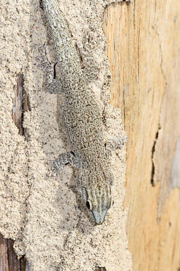 Gecko del día de Thicktail, isalo imagen de archivo libre de regalías