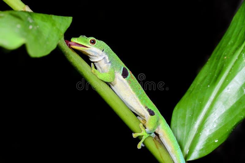 Gecko del día del pavo real, quadriocellata del phelsuma fotos de archivo