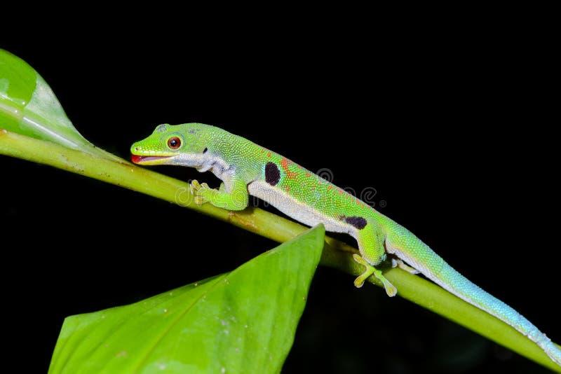 Gecko del día del pavo real, quadriocellata del phelsuma fotos de archivo libres de regalías