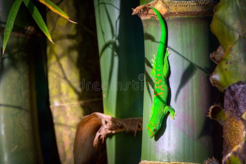 Gecko del día del polvo de oro verde imágenes de archivo libres de regalías