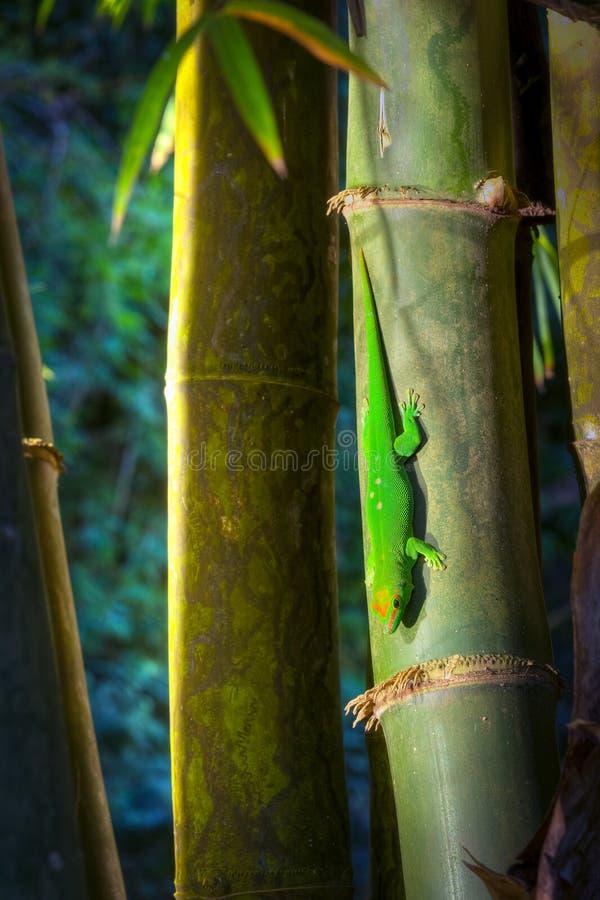 Gecko del día del polvo de oro verde fotos de archivo libres de regalías