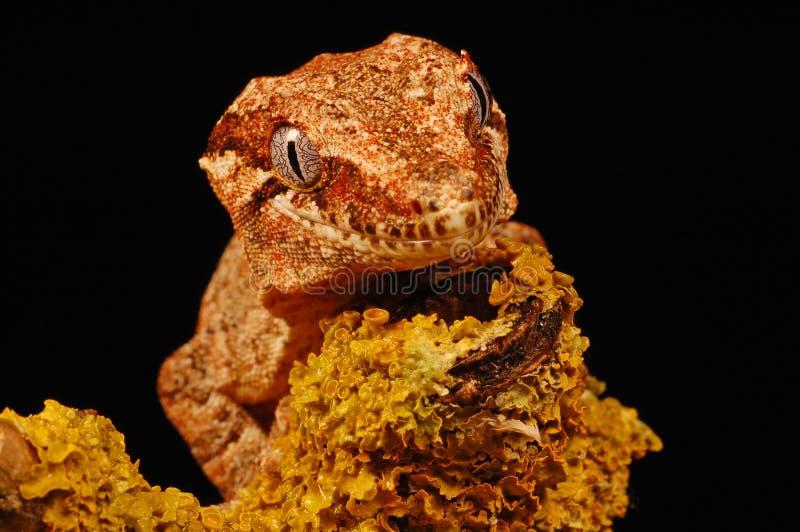 Gecko del Gargoyle en liquen foto de archivo libre de regalías
