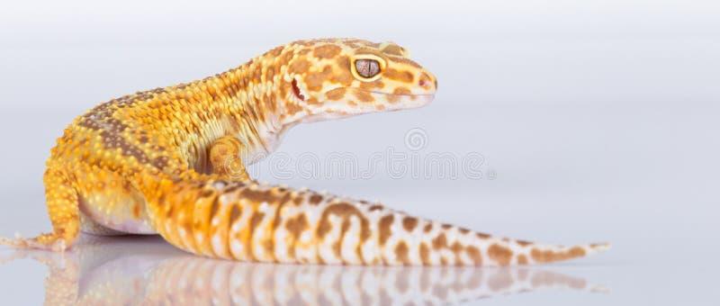Gecko del leopardo foto de archivo libre de regalías