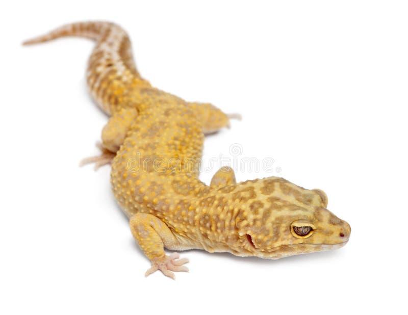 Gecko del leopardo de Aptor, macularius de Eublepharis fotografía de archivo libre de regalías