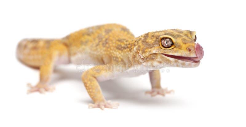 Gecko del leopardo de Aptor, macularius de Eublepharis imágenes de archivo libres de regalías