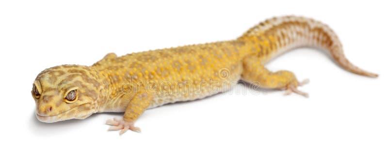 Gecko del leopardo de Aptor, macularius de Eublepharis imagenes de archivo