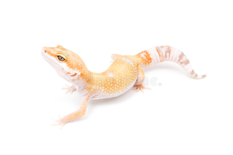 Gecko del leopardo de Sunglow del TIRÓN imágenes de archivo libres de regalías