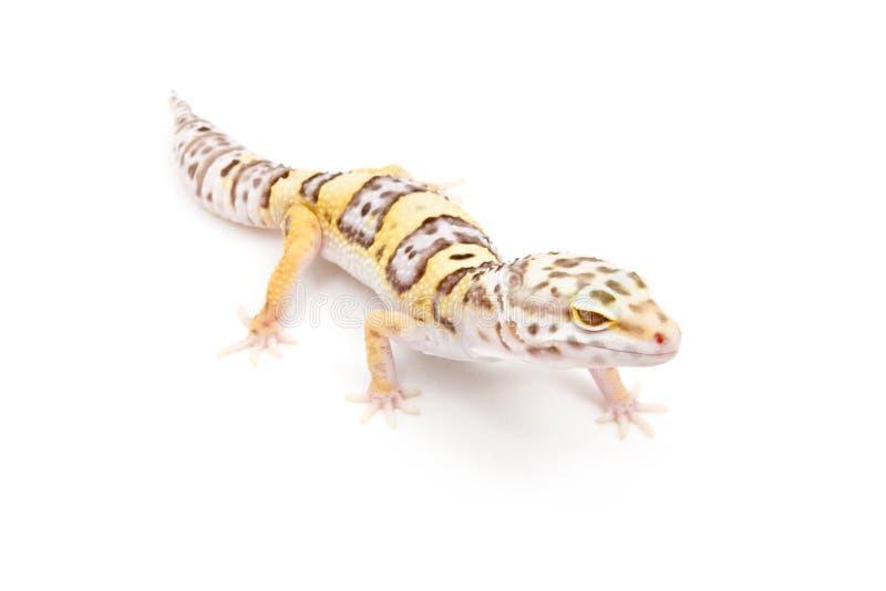 Gecko del leopardo del albino de Bell foto de archivo