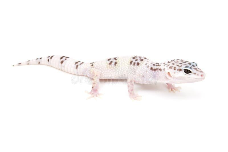 Gecko del leopardo del Hypo del TIRÓN fotos de archivo