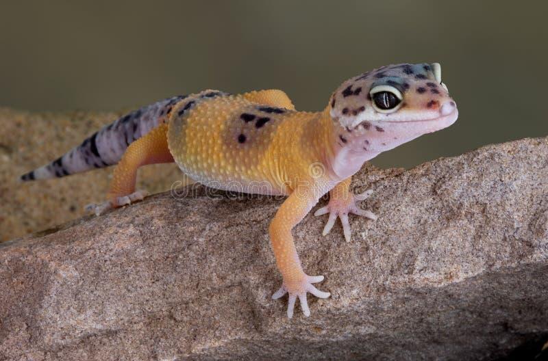 Gecko del leopardo en roca imágenes de archivo libres de regalías