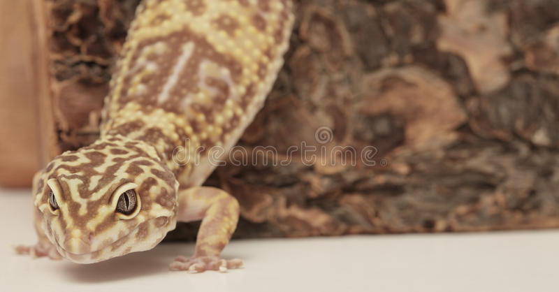 Gecko del leopardo en un registro de madera fotos de archivo libres de regalías