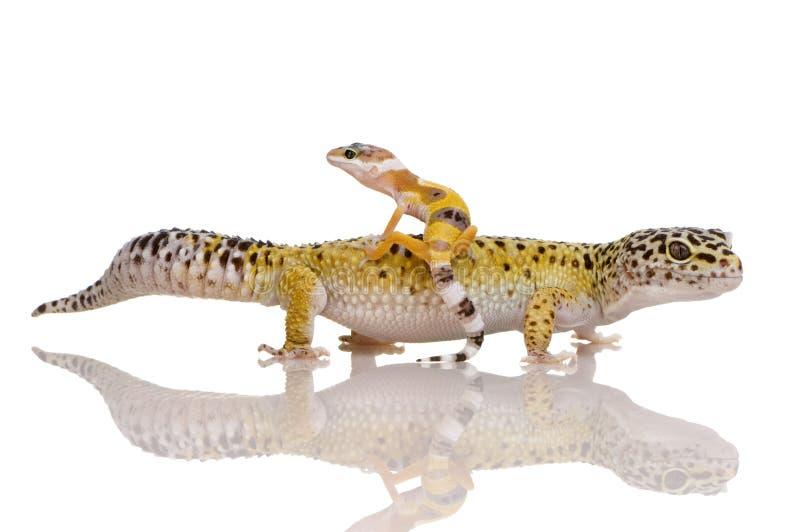 Gecko del leopardo - macularius di Eublepharis fotografie stock libere da diritti