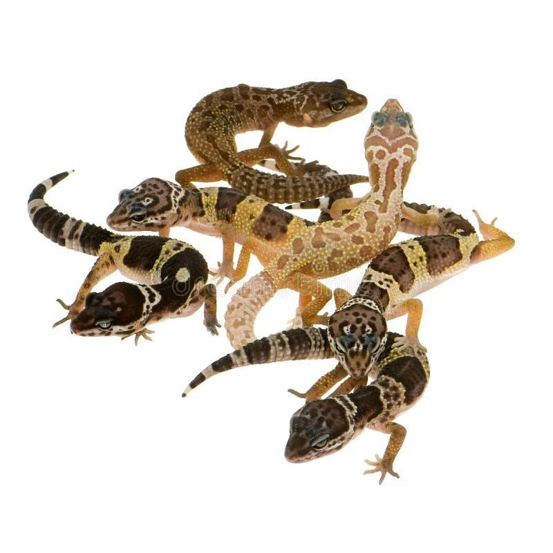 Gecko del leopardo - macularius di Eublepharis fotografia stock libera da diritti