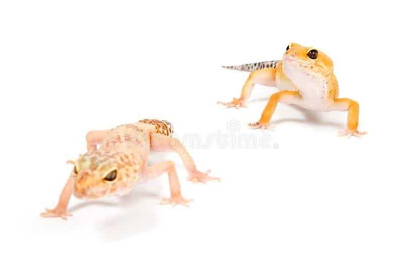 Gecko delante del fondo blanco imagen de archivo libre de regalías