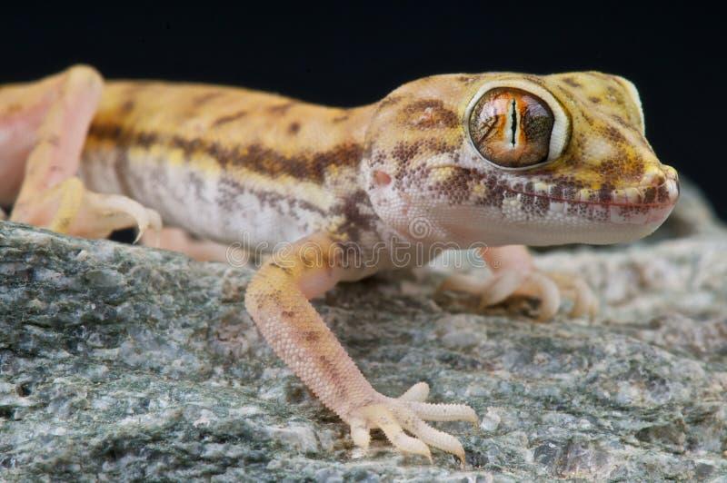 Gecko della duna immagini stock libere da diritti